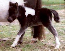 Australian Miniature Pony Society