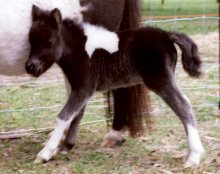 Miniature Foal